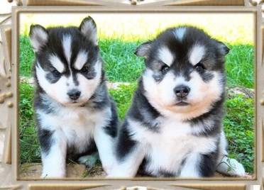 Husky Puppies Available for sale contactI have a male and female