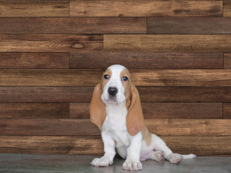 Dexter is just the sweetest (male Basset Hound)