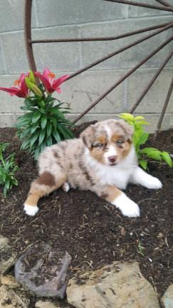 Sweet Australian Shepherd Puppies.. CONTACT me at *404*721*0009*