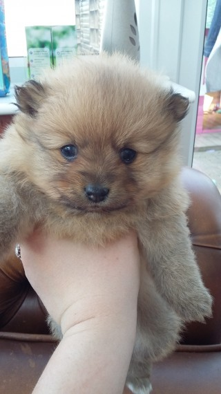 Male and female  Pomeranian Puppies.