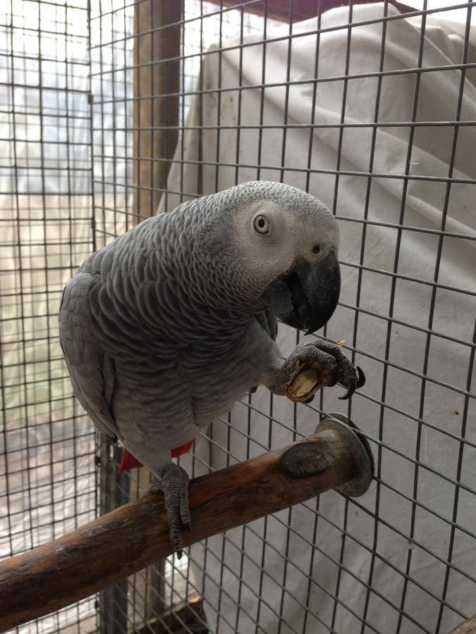 Beautiful Congo African Grey Parrots 1 Years Old