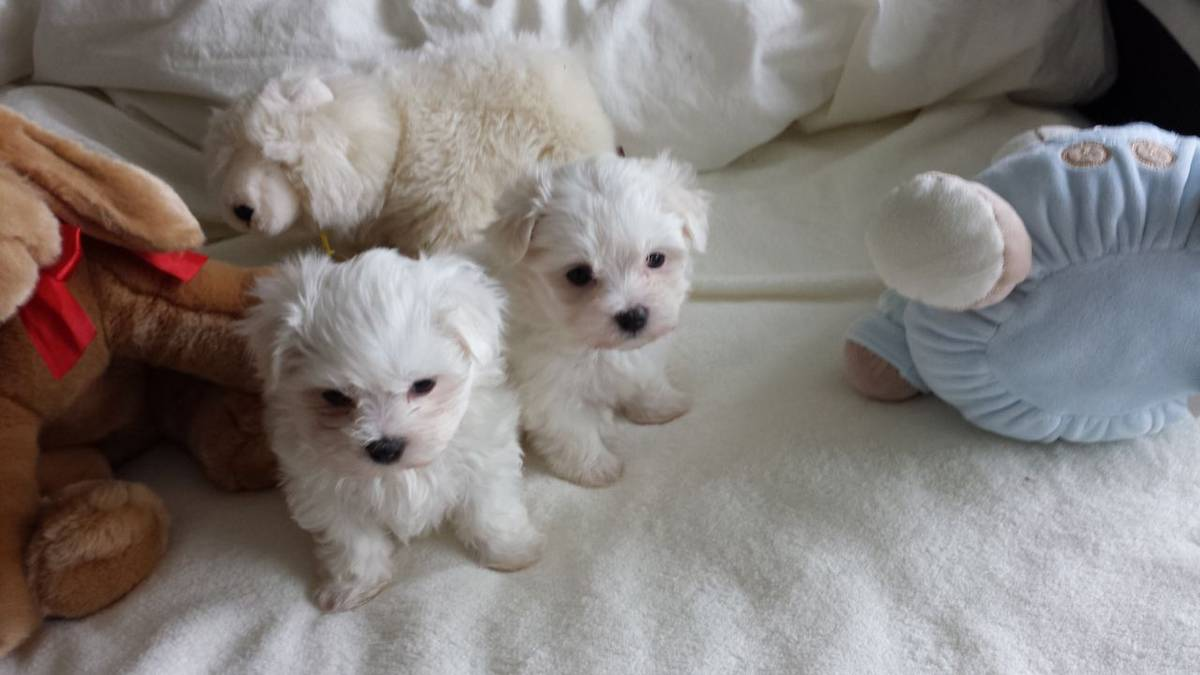 Teacup Maltese for sale