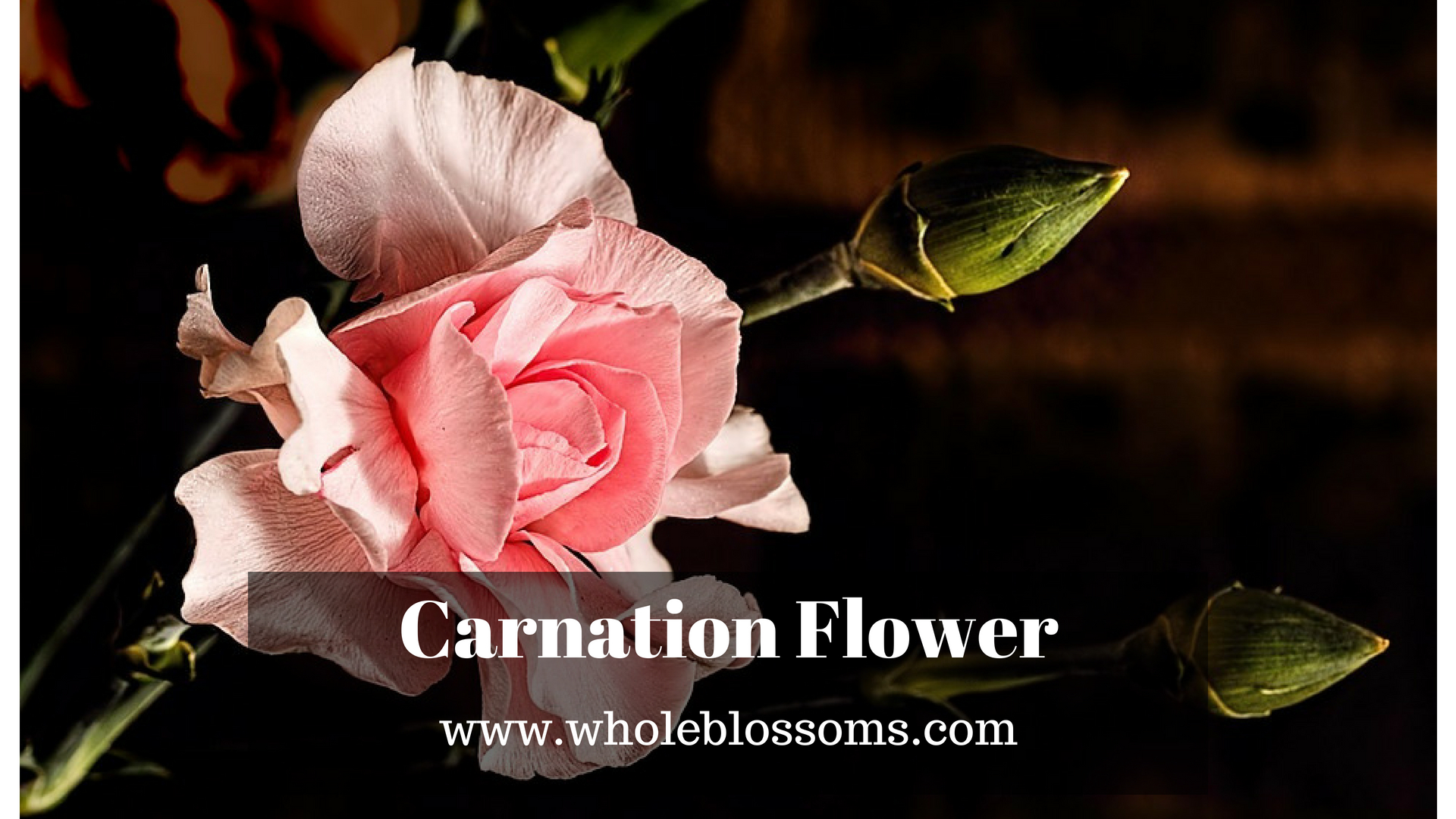 Buy Perfect Carnation Flower in Bulk for Your Special Day