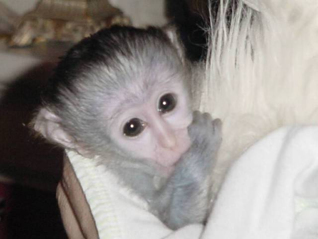Cute and Pretty Baby Capuchin,Marmoset and Squirrel Monkeys for Adoption