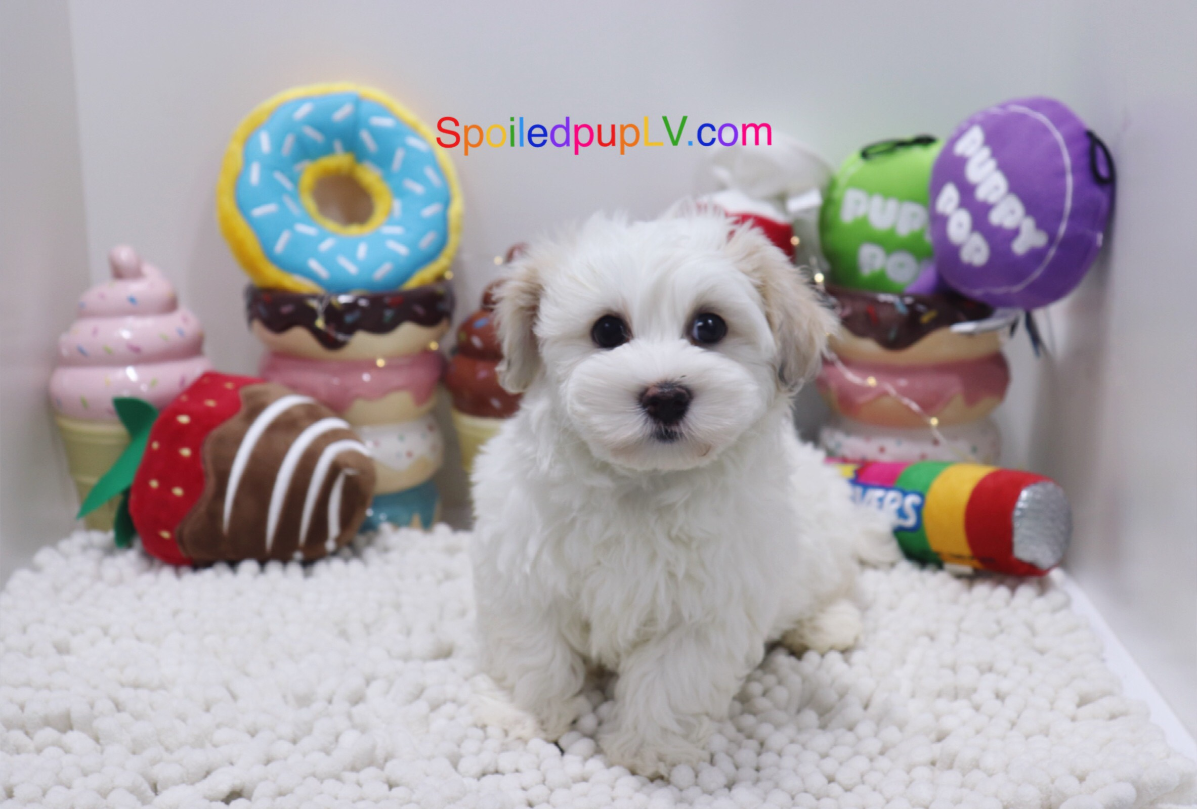 Maltipoo - Cream - Male
