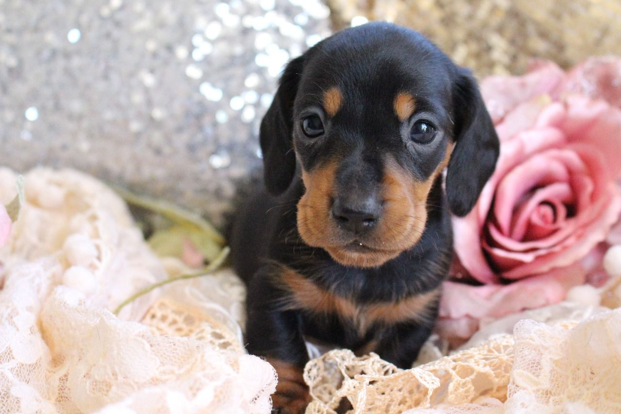 Miniature Dachshund Puppy.