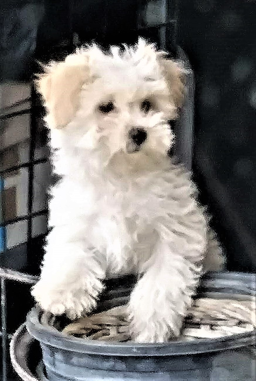 MALTIPOO PUPPY ADORABLE
