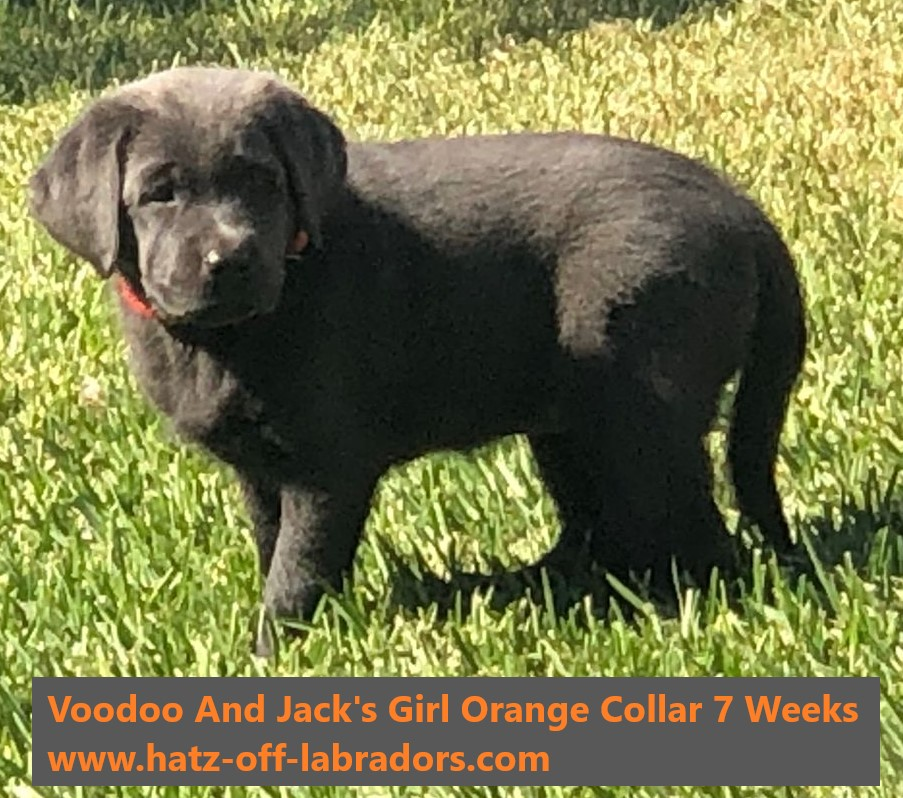 PennySaver | AKC Charcoal Female Lab Puppies in Riverside