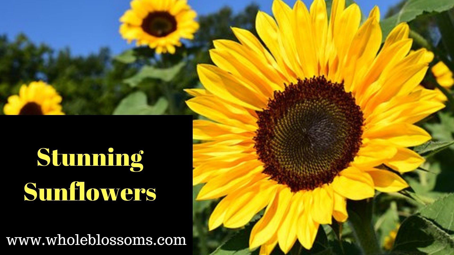 Where to Buy Sunflowers near You at the Bulk