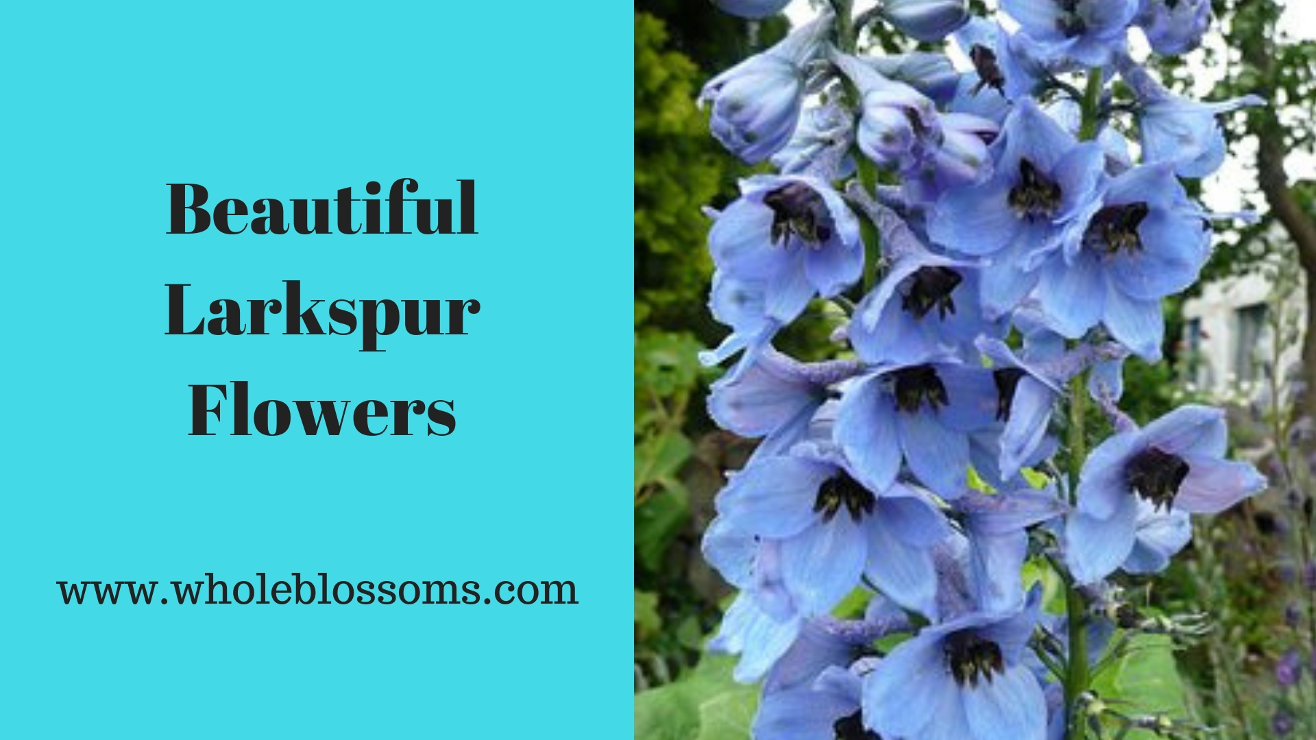 Select You Fascinating Larkspur Flowers for Floral Arrangements