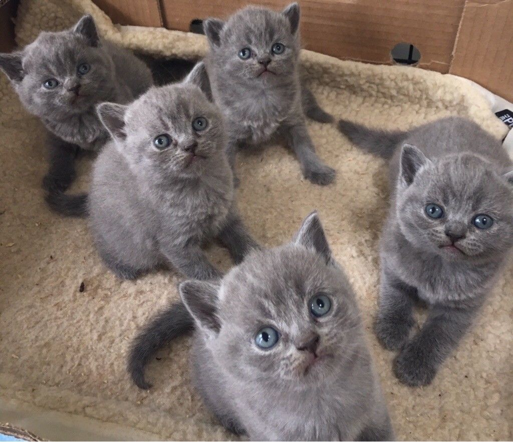 PennySaver | British shorthair kittens in New York, New York, USA