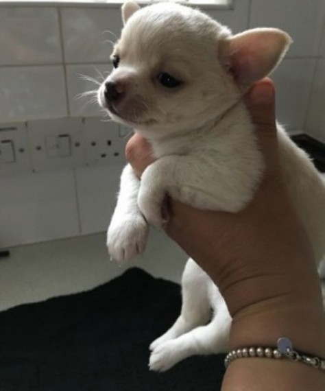 Gorgeous Pkd Dna Negative Chihuahua Puppy