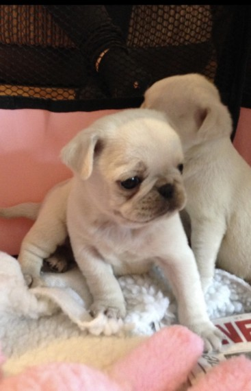 Best Pug Puppies Kc Pure White Amazing Ready