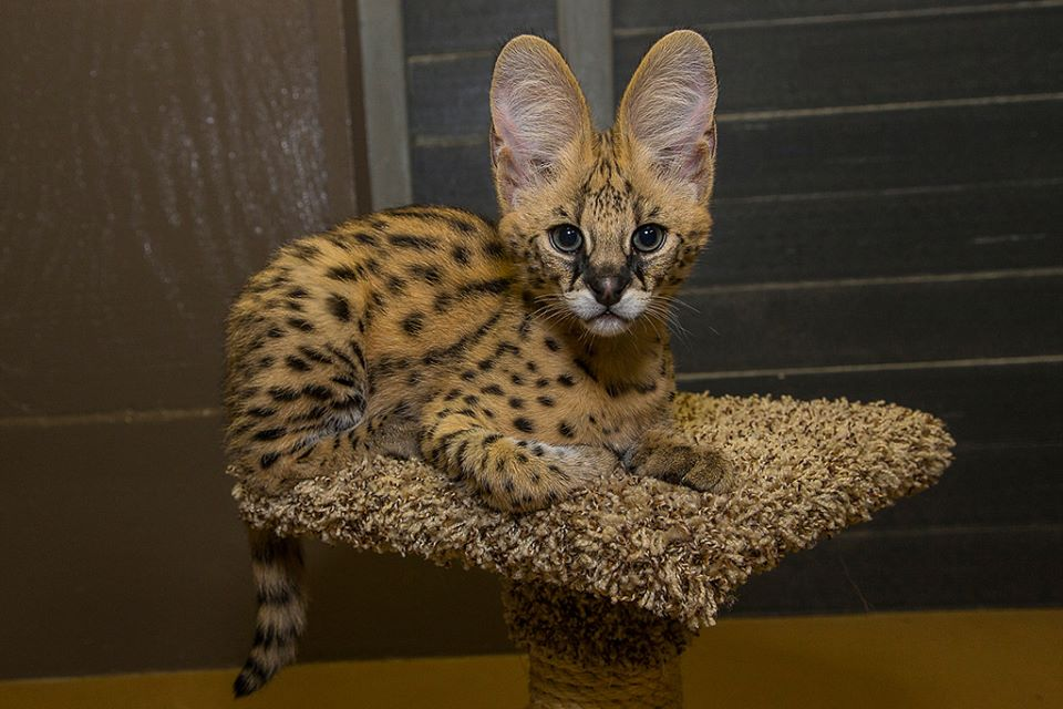 serval & caracal kittens for sale