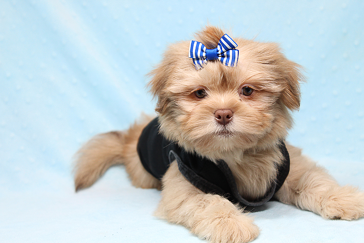 Spectacular Shih Tzu Puppies In Los Angeles