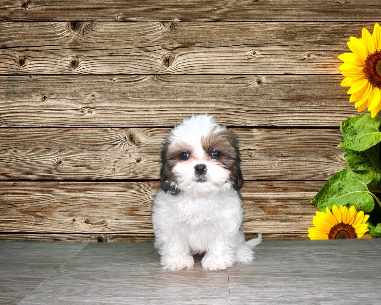 10 wk Female Cavatzu puppy (registered and chipped)