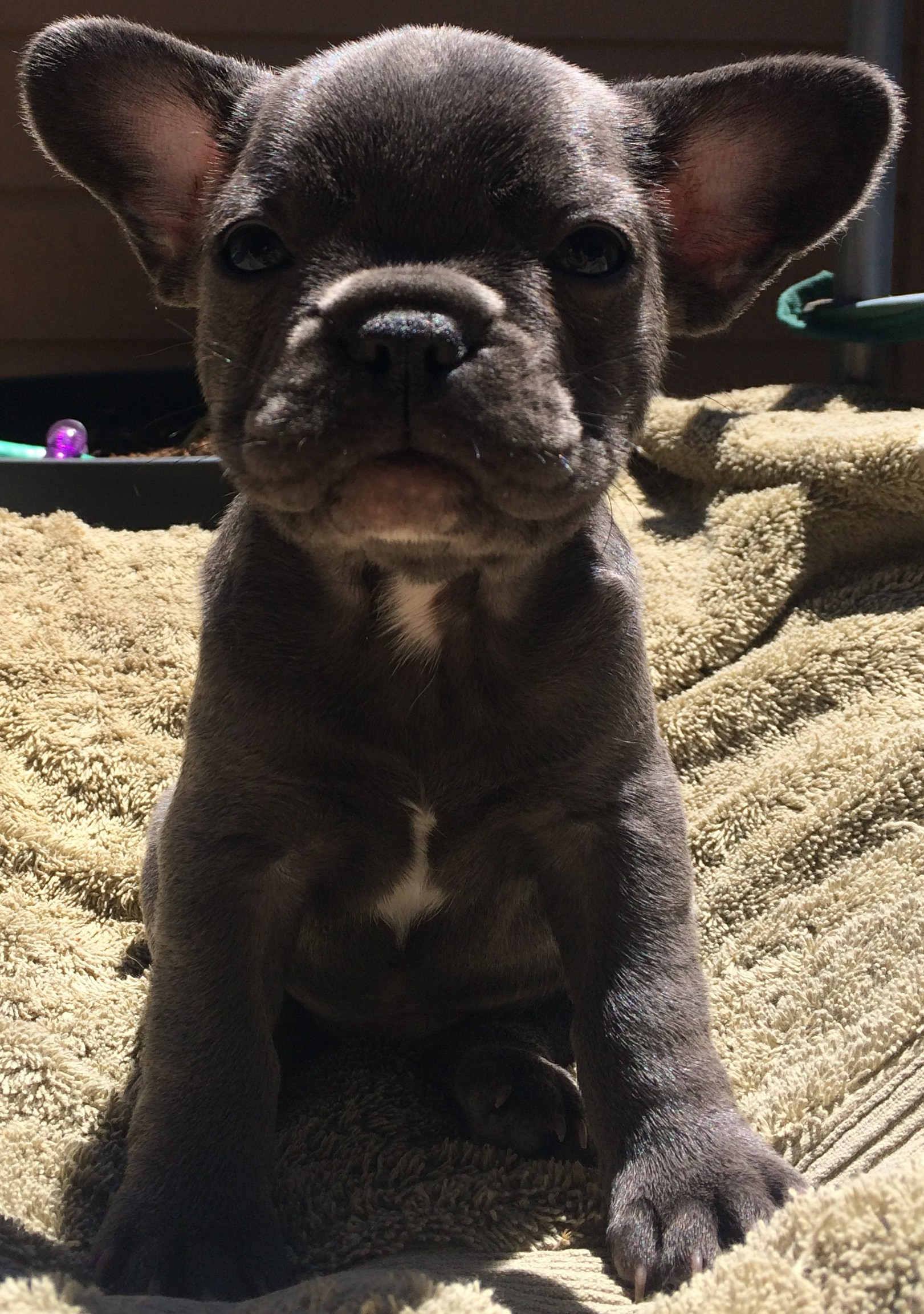 PennySaver | French Bulldog Puppies in Sacramento