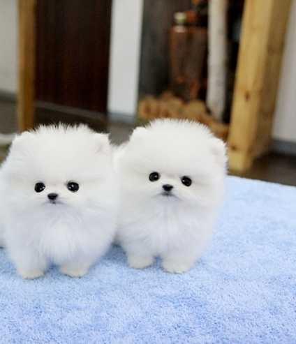Pldlskdl Pomeranian Puppies For Sale