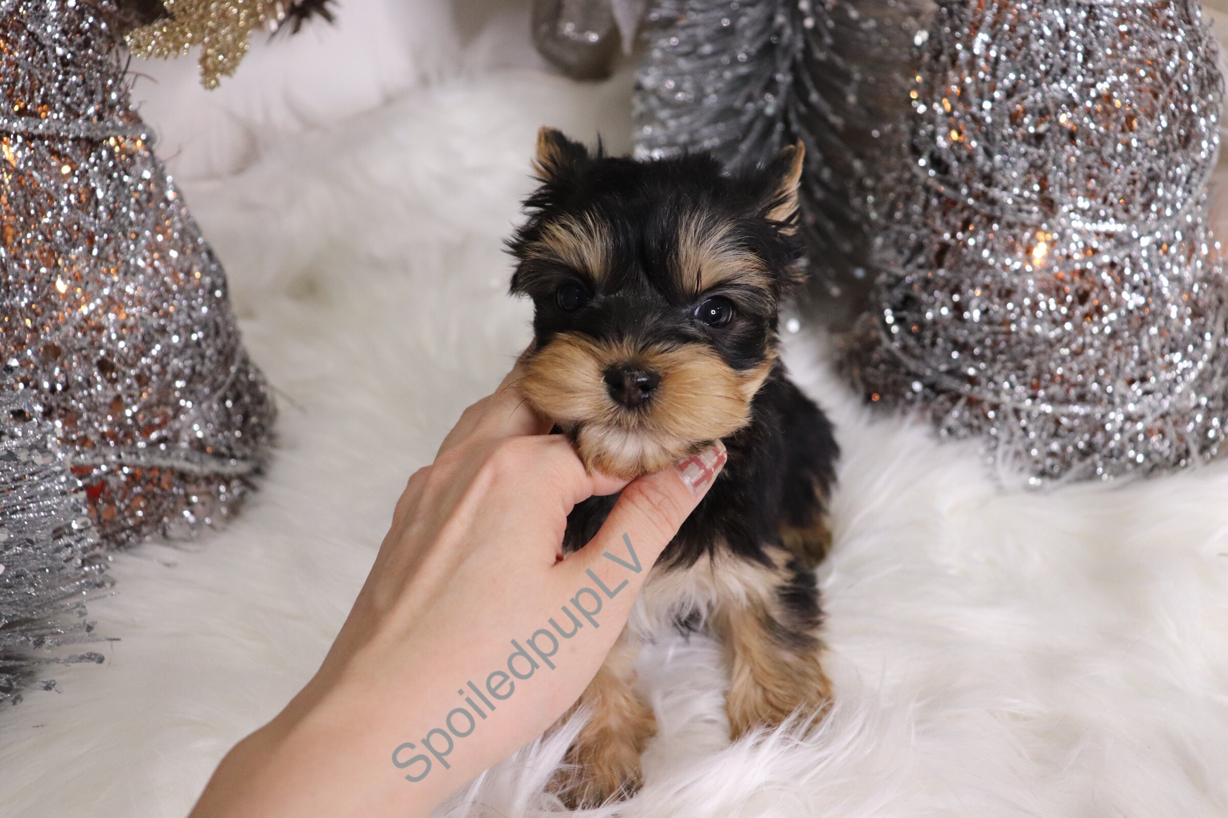 Yorkshire Terrier - Bellz - Male