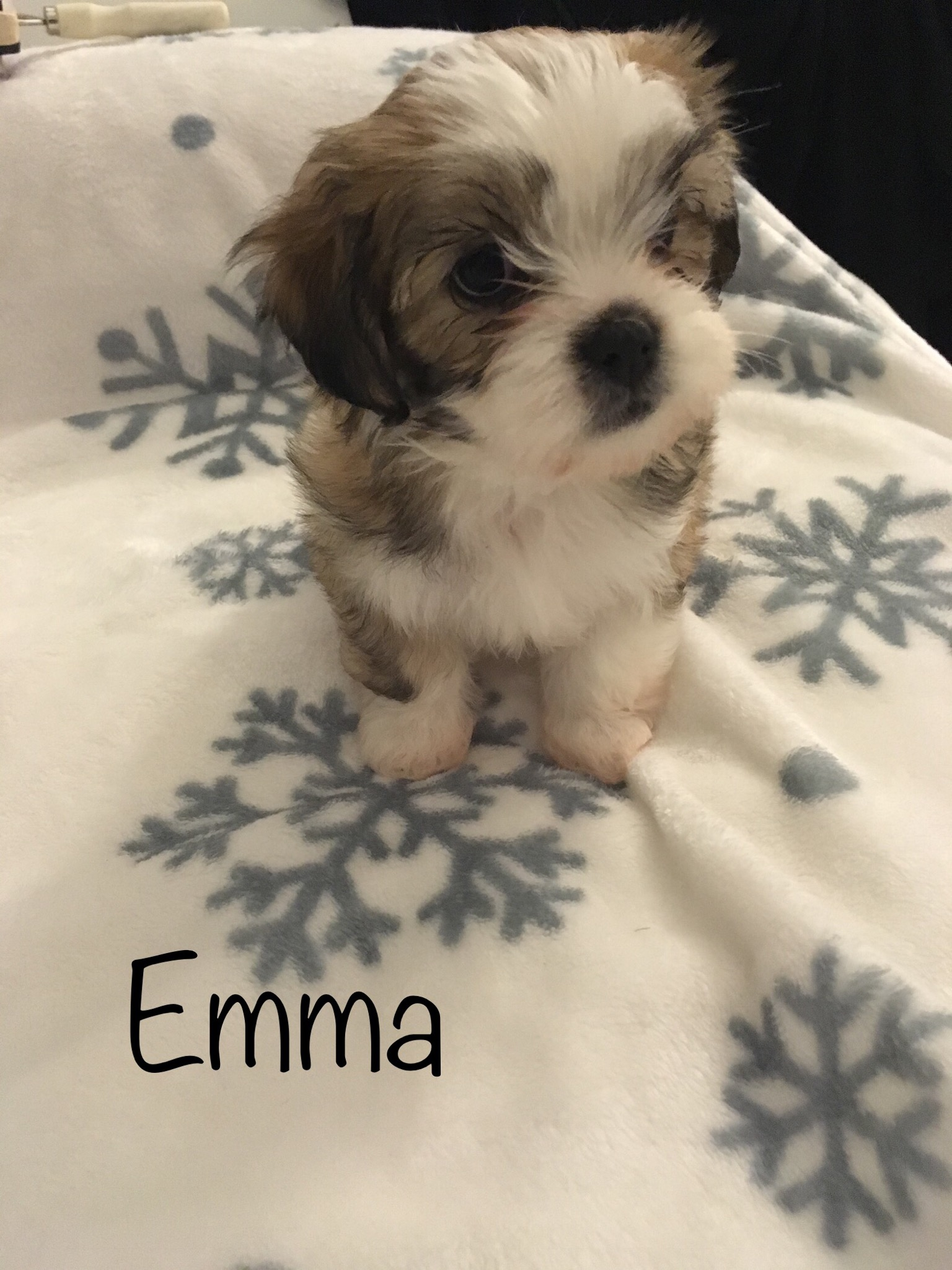 4 FEMALE MORKIE PUPPIES