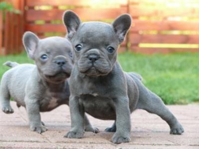 Cute male and female bleu french bulldog puppies