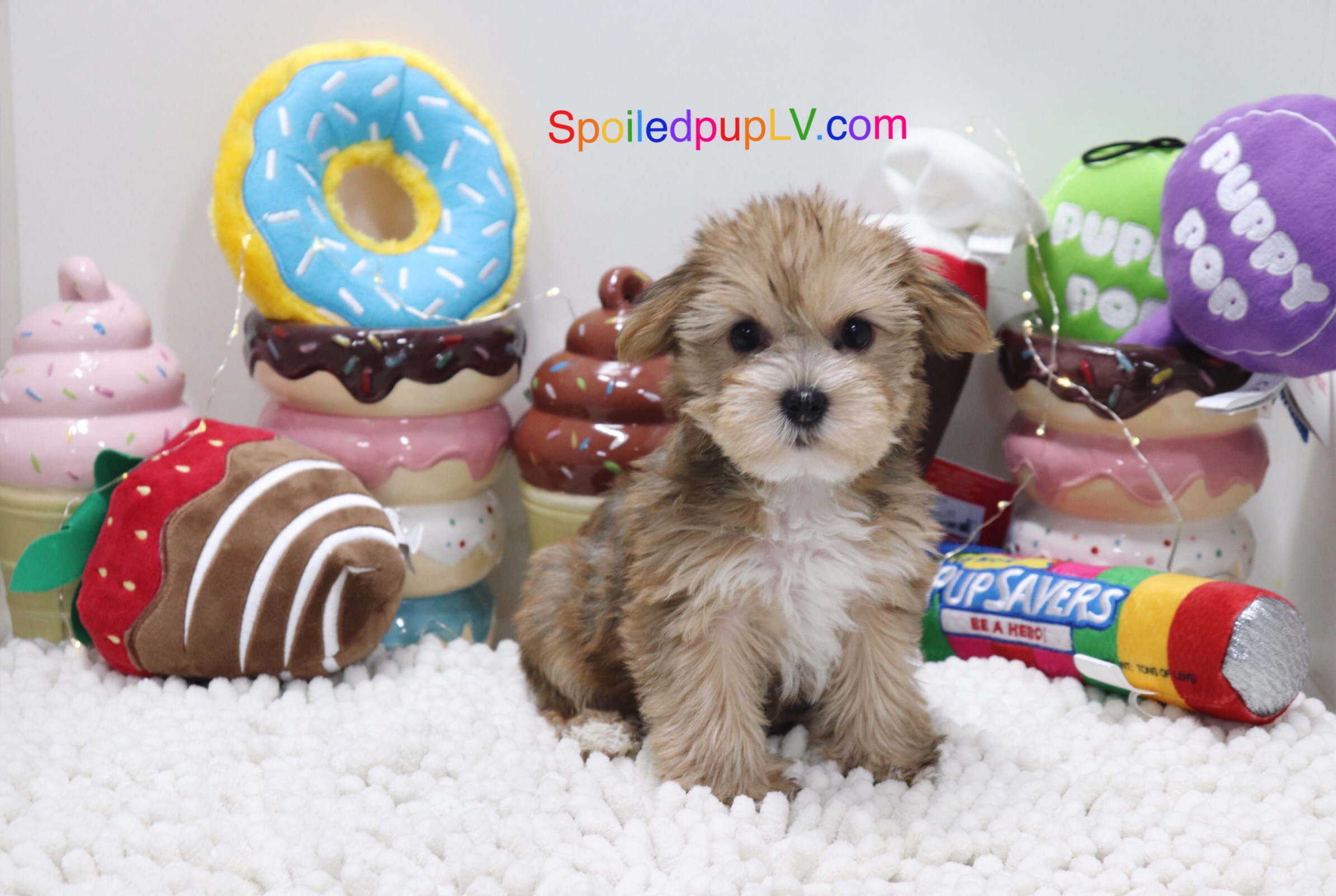 Yorkshire Terrier - Butter - Male