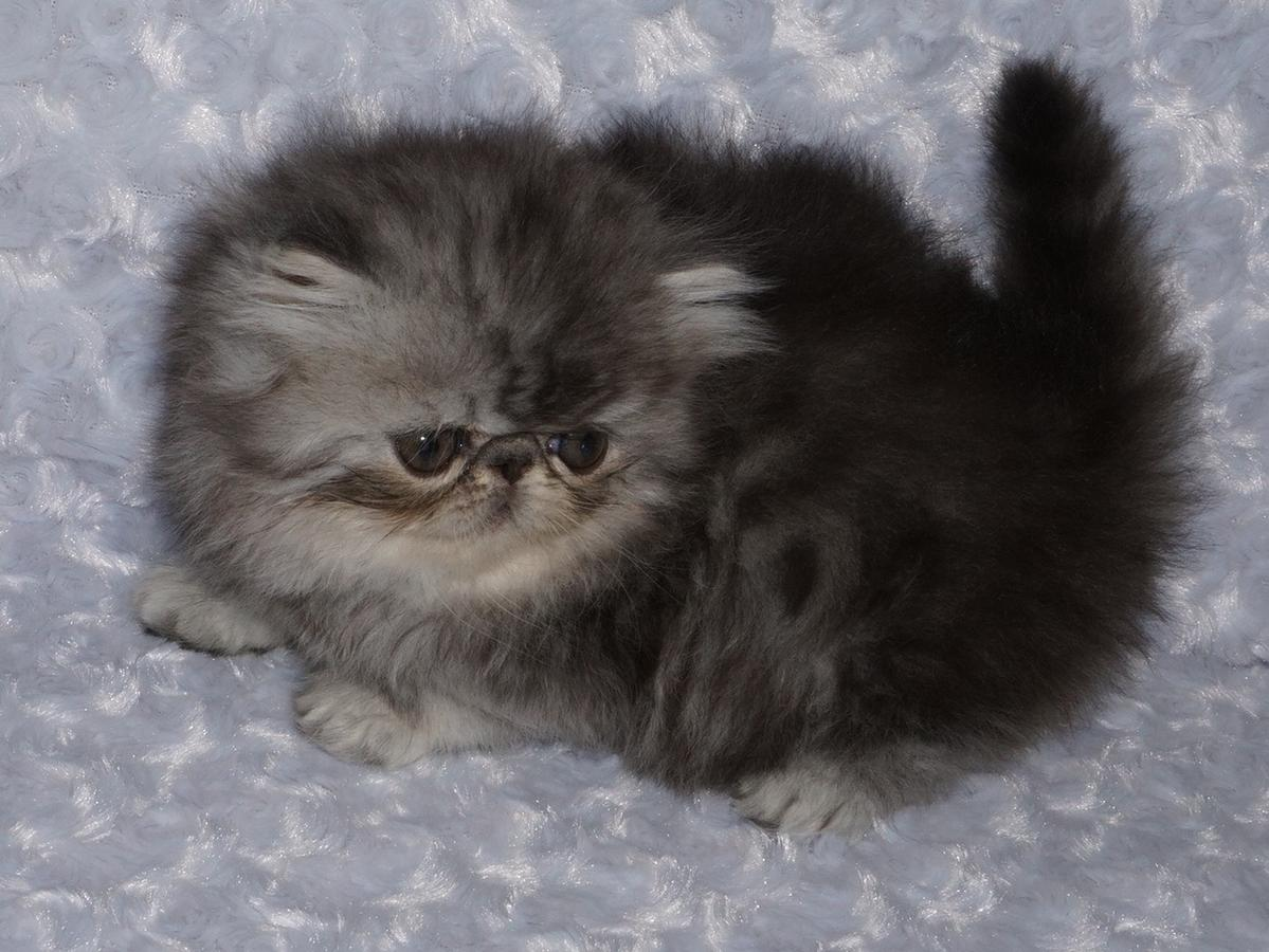 Persian kittens ready for sale.