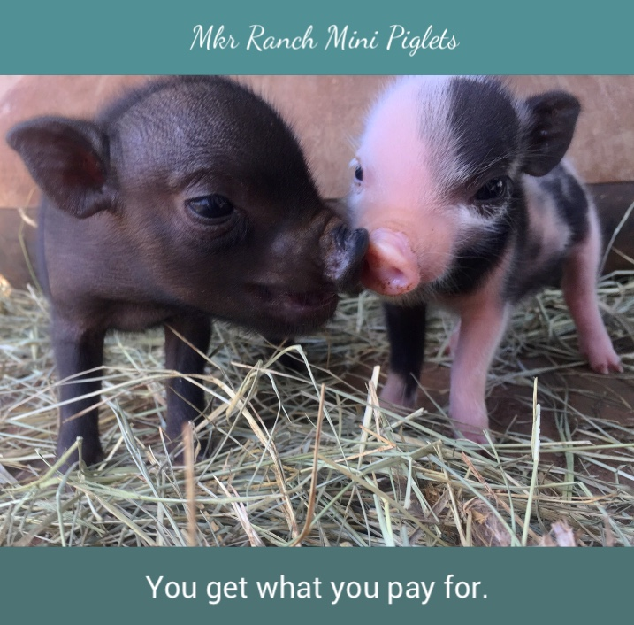 Micro Miniature Piglets Extreme