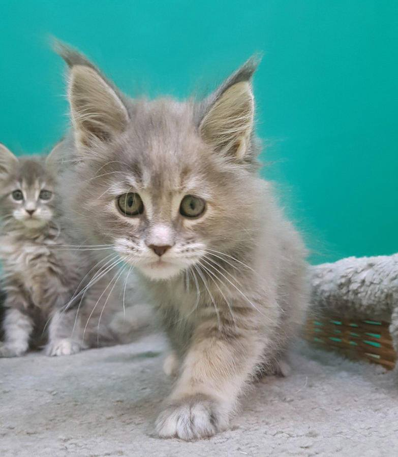 Cute maine coon kittens for sale.