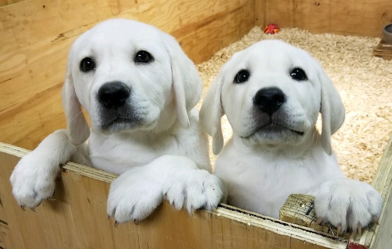 White English Lab Female Puppy