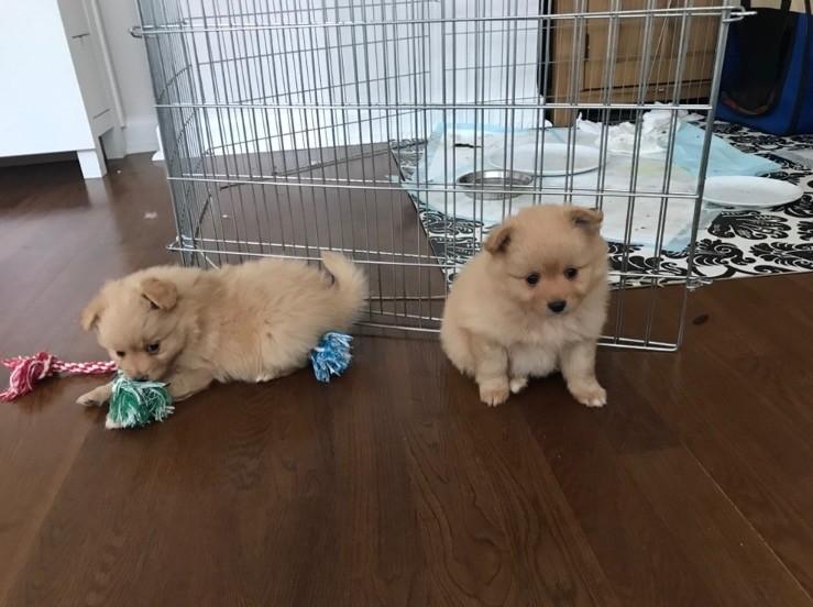 Purebred Pomeranian Puppies. 408-641-7968