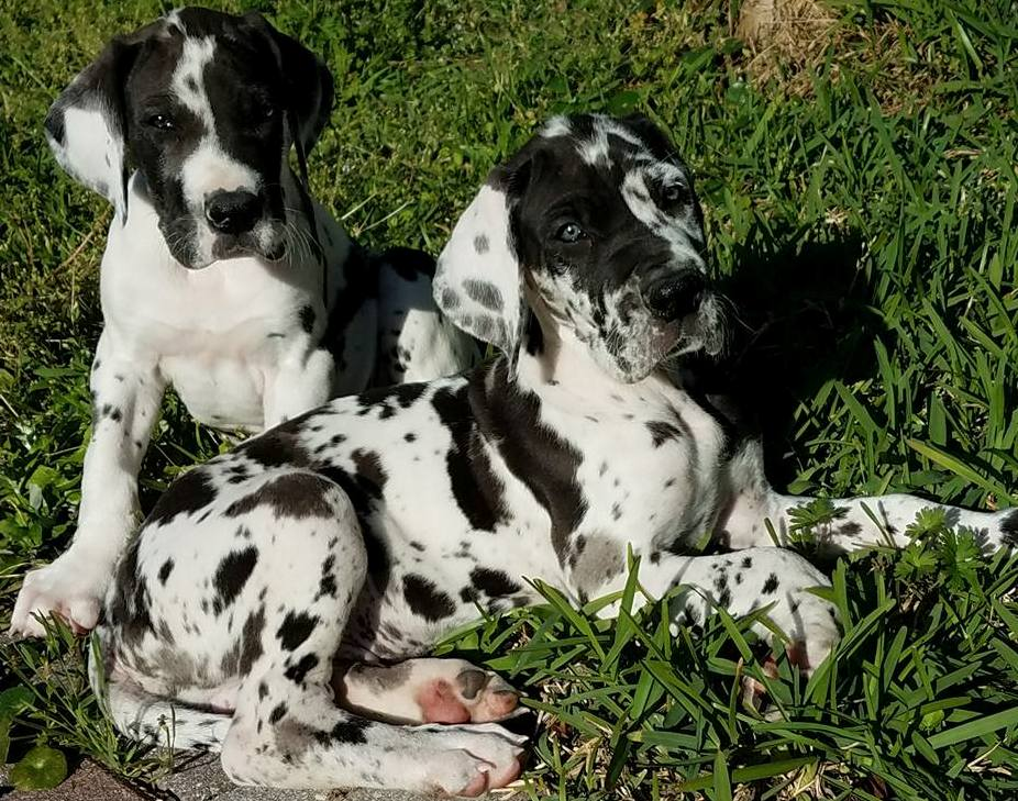 Great Dane puppies available