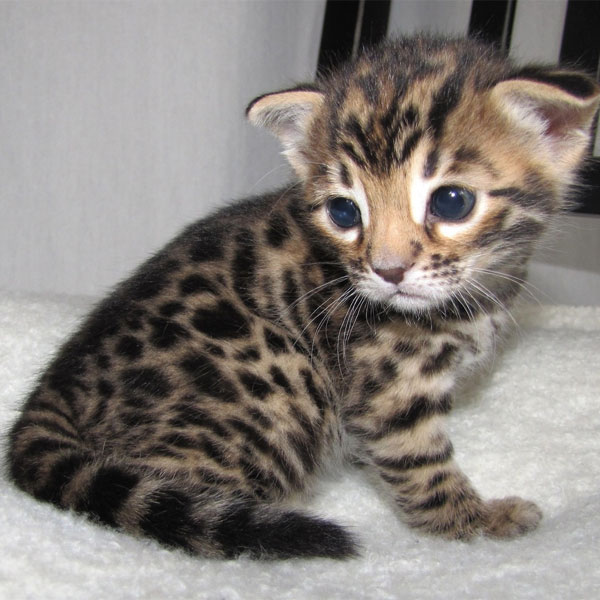 Adorable Gorgeous Bengal Kittens