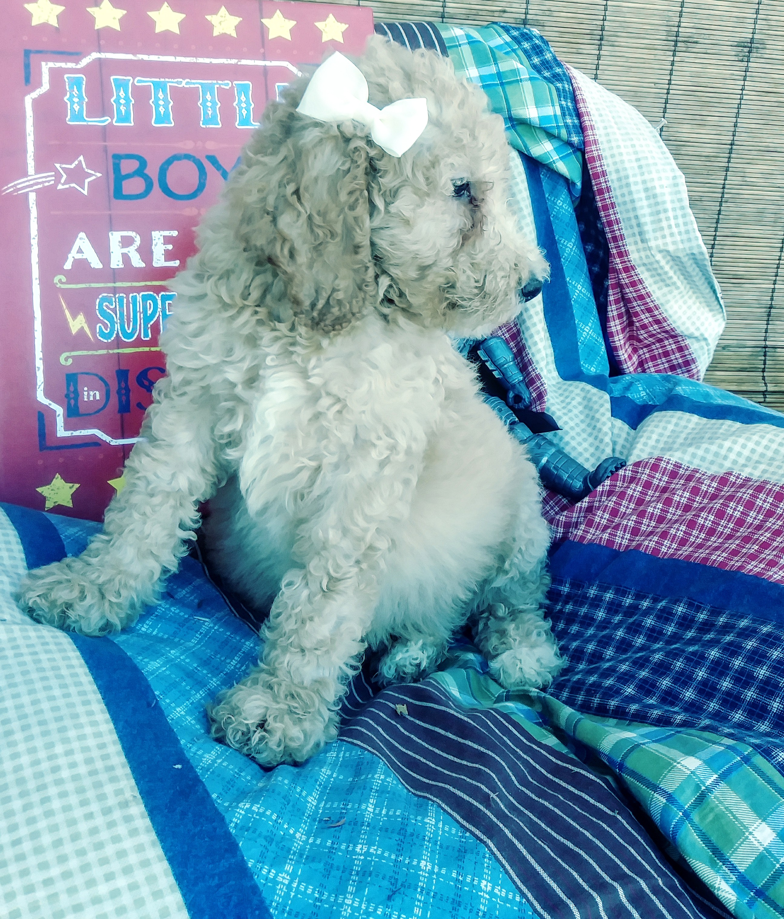 AKC standard poodle puppies!