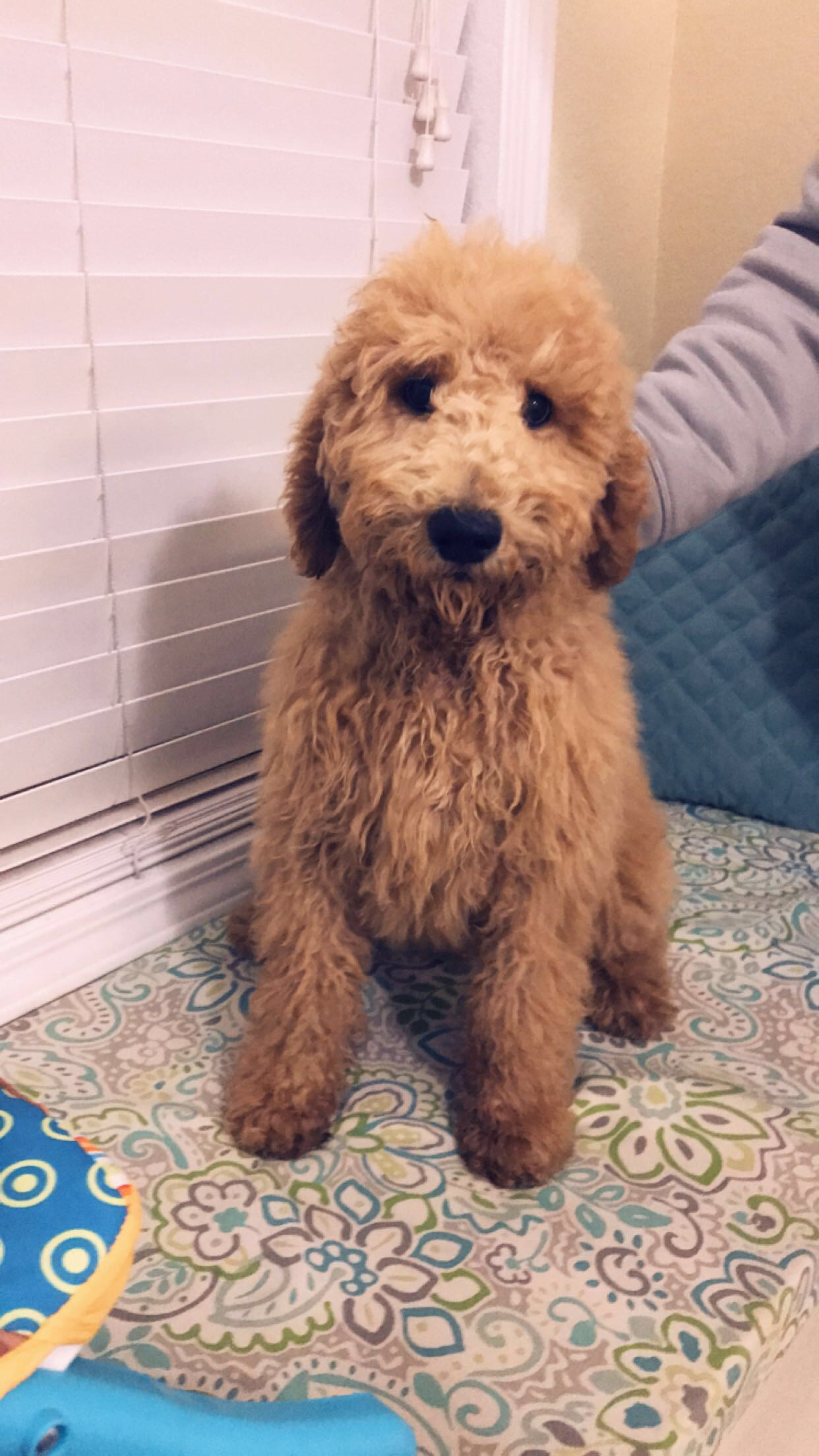 3 month old goldendoodle