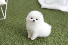 Pomeranian puppies available for a new home