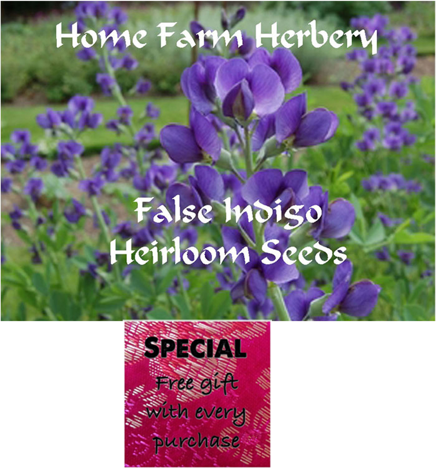 Order the best False Indigo Heirloom Perennial Seeds now, Free gift, B3G1F