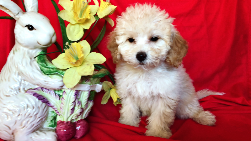 ADORABLE MALTESE MIXED WITH POODLE !