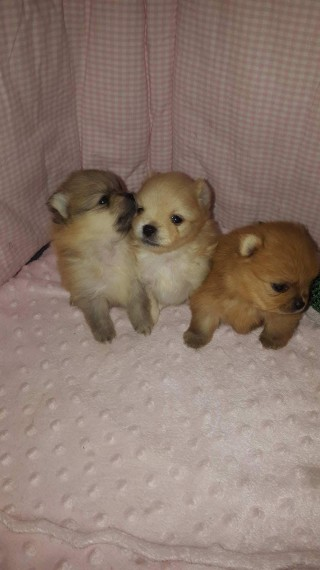 2  Health Guarantee Pomeranian Puppies!!