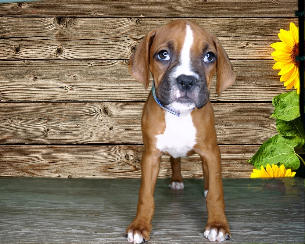 Trixie is for kids! (AKC FEMALE BOXER)