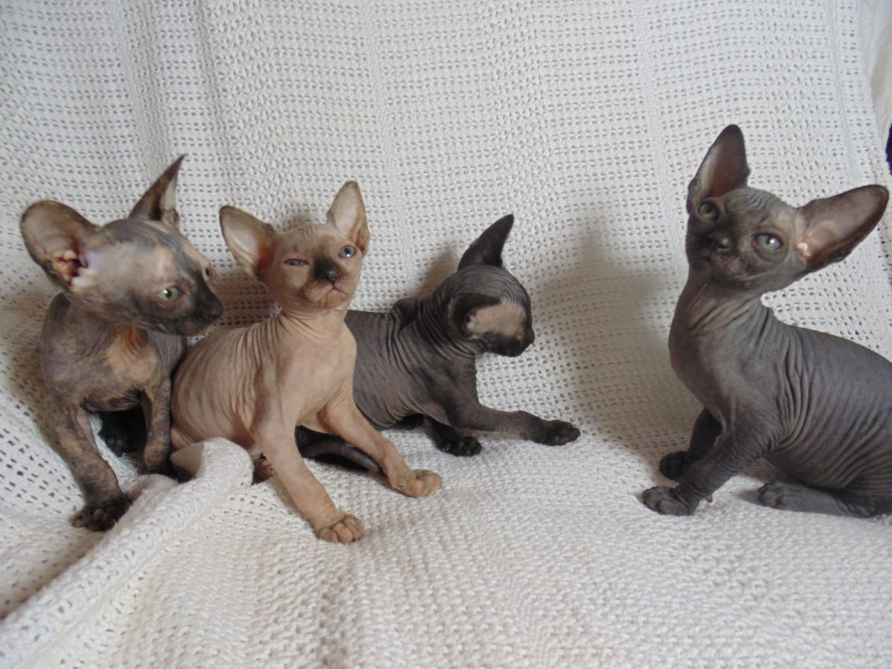 I have some lovely friendly baby sphynx for sale