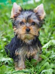 Teacup Yorkshire Terriers