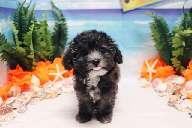 Maltipoo - Minnie - Female