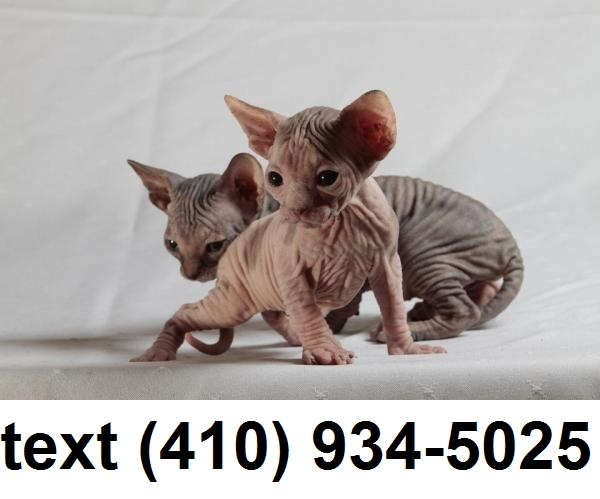 PennySaver | Hairless Sphynx Kittens For Sale in Palm Beach, Florida