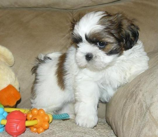 well socialized male and females Shih Tzu puppies available