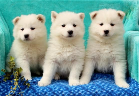 Dsagh Samoyed Puppies For Sale