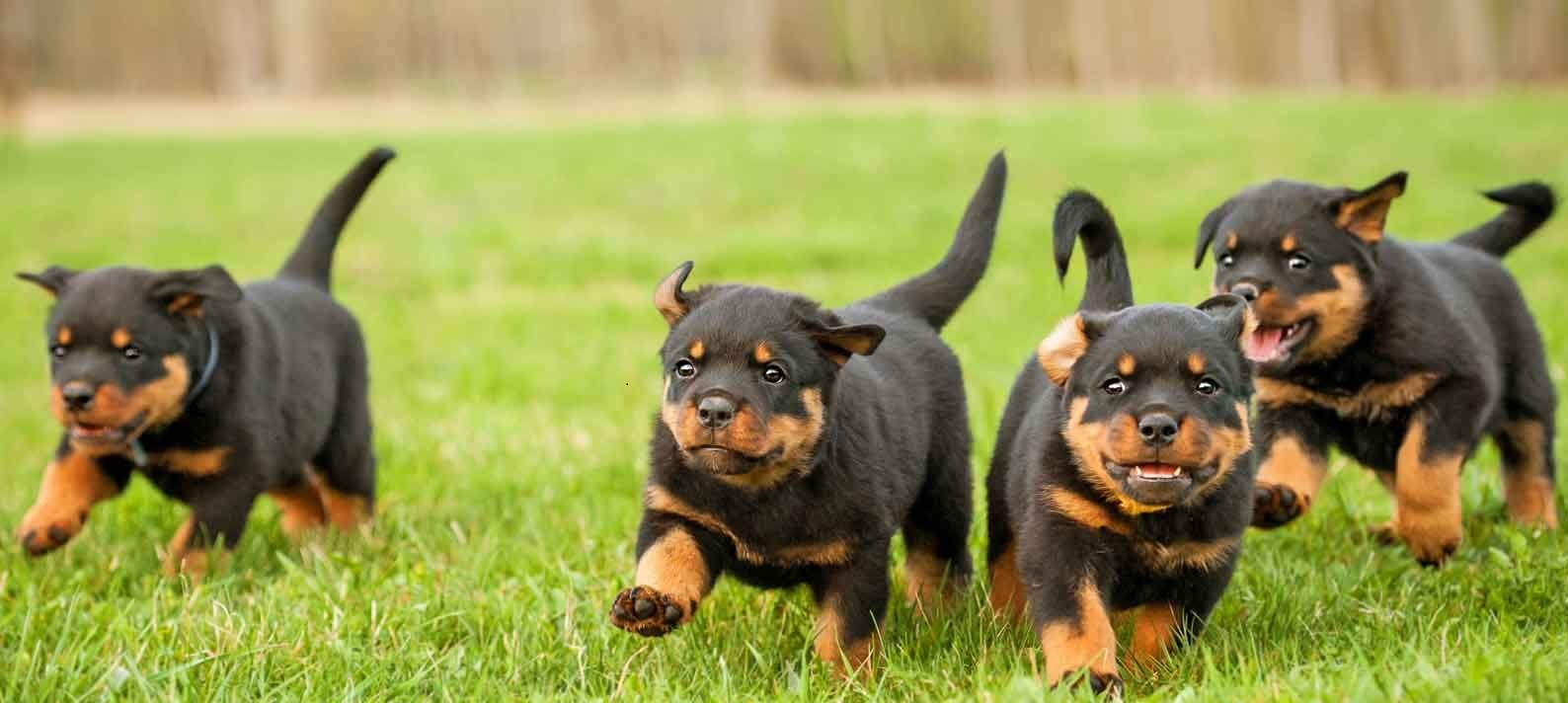 We have male and Female Rottweiler.
