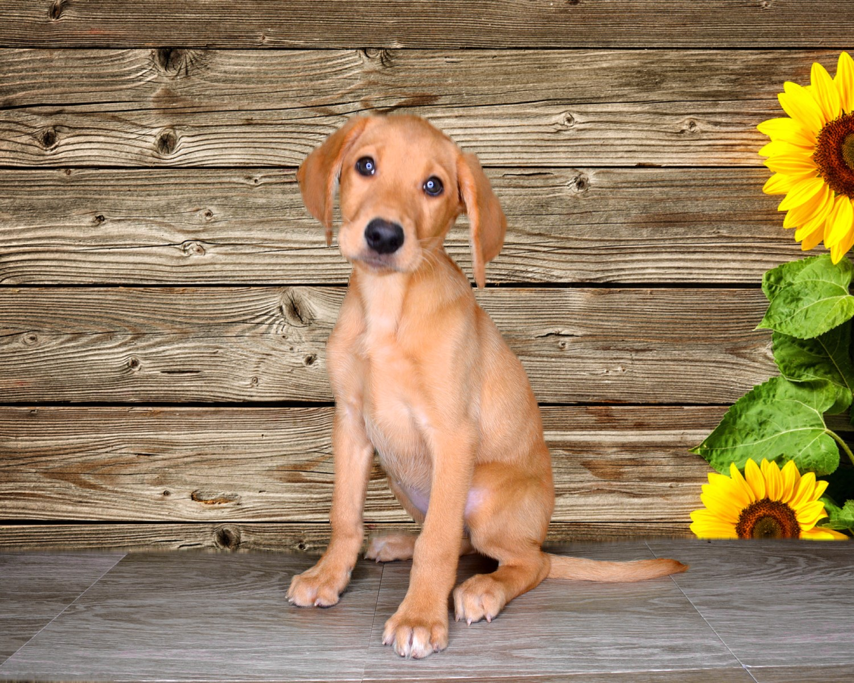Roxie is a 17 week old Labrador Retriever!