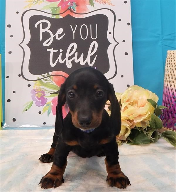 Lacey the lovely female dachshund!!