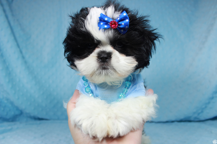 Perfect Shihtzu Puppies in Las Vegas!